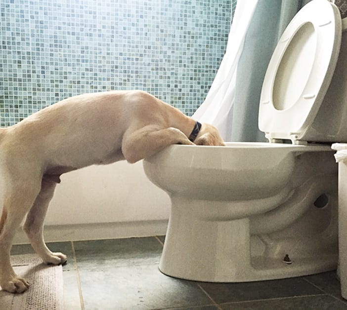 dog drinking out of the toilet